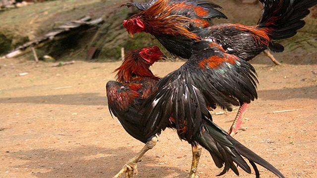 Judi Sabung Ayam Uang Asli Indonesia