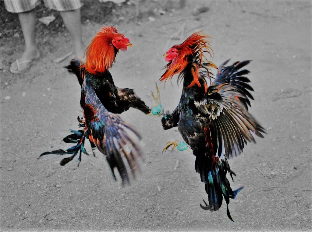 Agen Judi Adu Ayam SV388 Online