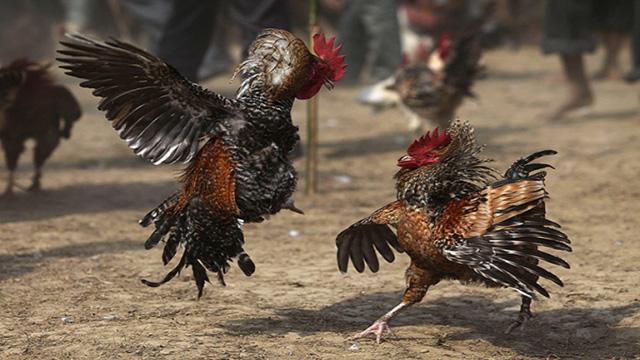 Daftar S128 Sabung Ayam Online