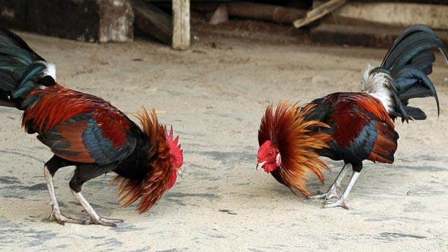 S1288 Sabung Ayam Online